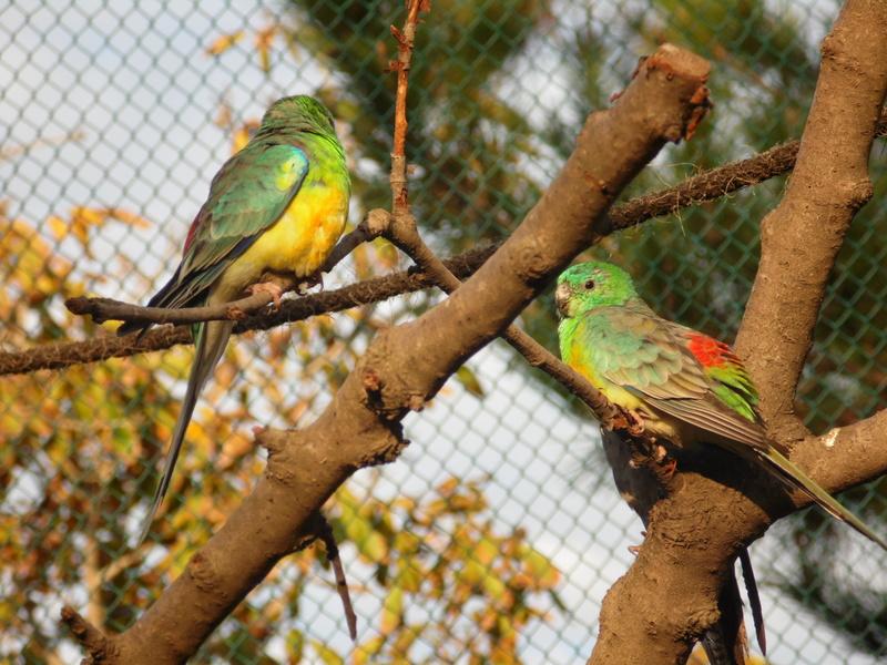 Pelihara Burung Kenari ? Perbesar Sangkarnya Atau Berikan Dia Pasangan?
