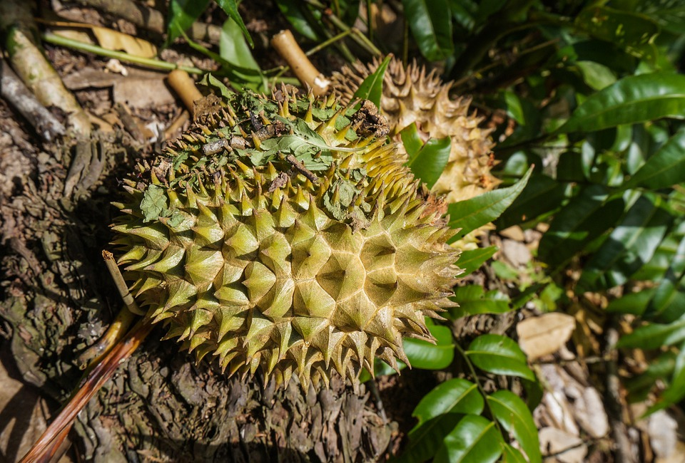 Manfaat Daun Durian Bagi Kesehatan