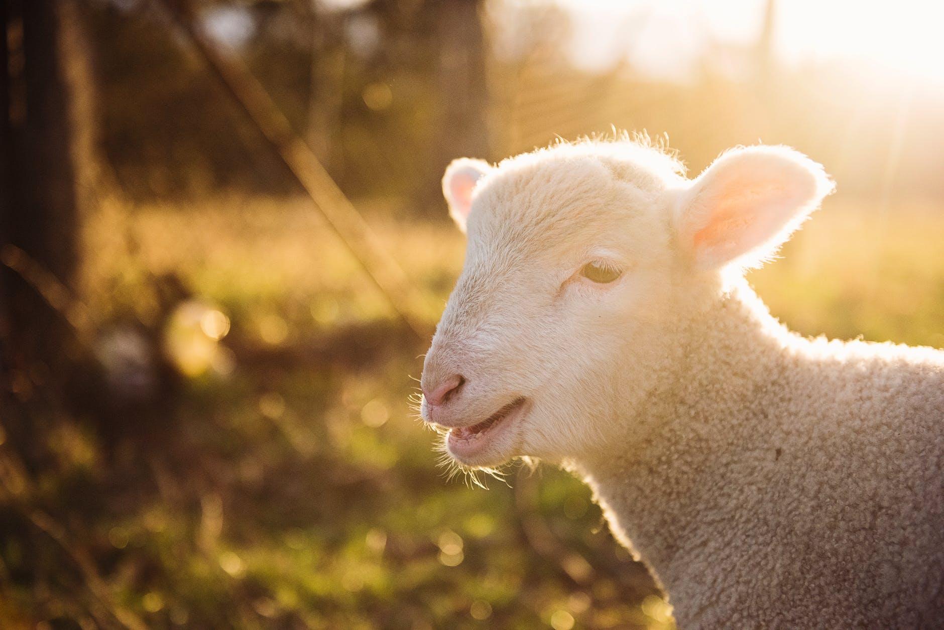 Yuk Simak Ciri Cici Domba Texel Yang Harus Anda Tau