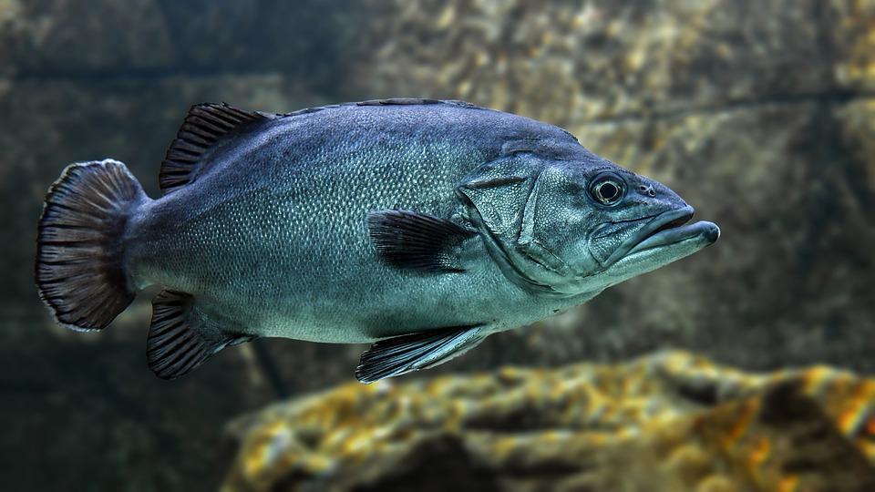 Ikan Bibir Tebal Tengah Terancam Tentunya Ikan Napoleon