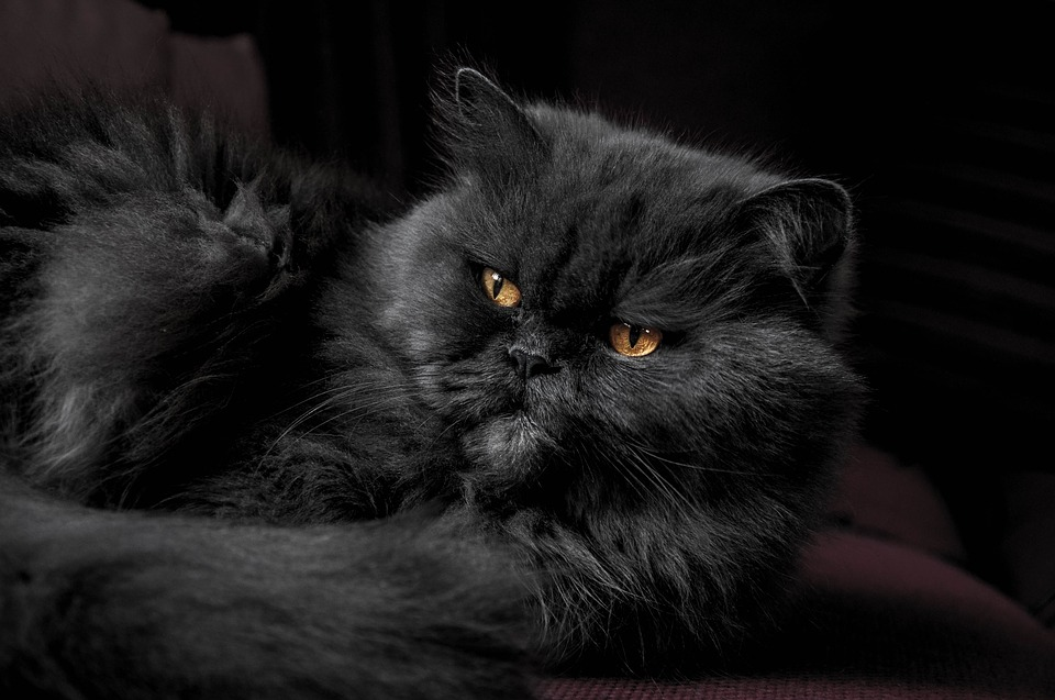 Penuh Pesona: 4 Fakta Mengenai Kucing Hitam Putih